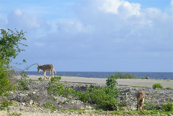 Satellite earth station removal Mark Erney pictures and images Caribbean Nederlands Dutch Antilles island Bonaire donkey donkeys Pic 6