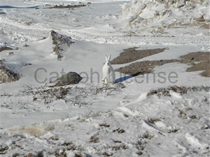 Images and pictures for sale or license by Mark Erney photographs 7 buddy bunny arctic publishers
